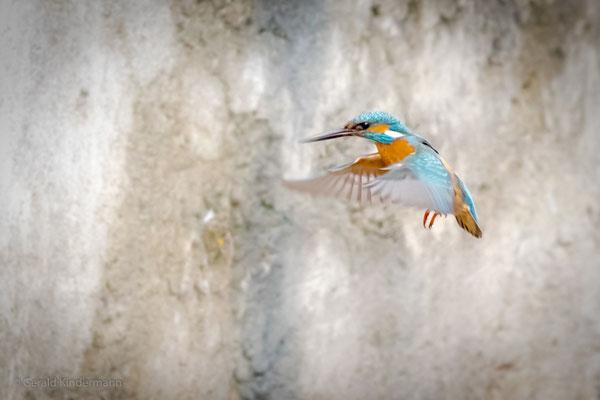 Flug vor der Brutwand