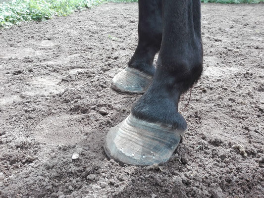 Velvet's first shoeing, you can see the curl in the hoof wall.