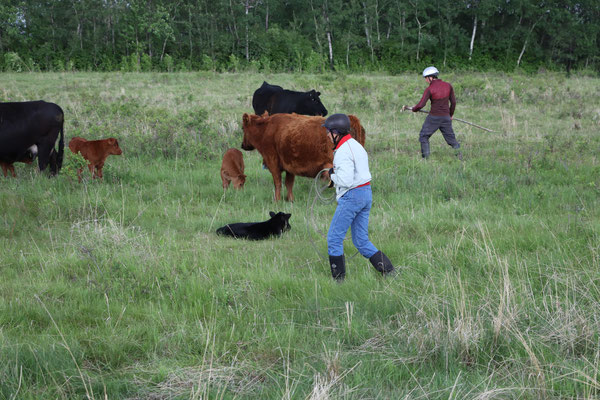 Sneaking around behind the calf