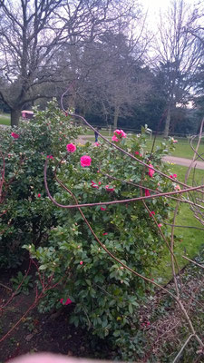 Roses blooming in March!