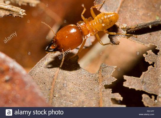 Un soldat termite