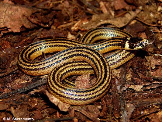 Elapomorphus quinquelineatus