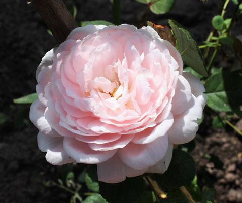 Роза старо - английская