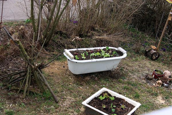 Blick auf die erste Anfplanzung Salat im vorderen Bereich