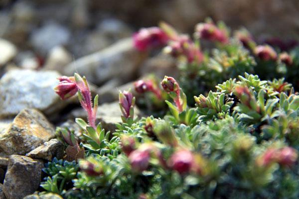 David ohne Goliath - im Steingarten - erwachende Blüten