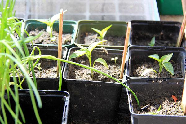 Paprikajungpflanzen