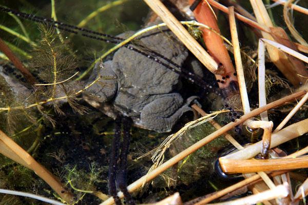 die Erdkröten laichen auch dieses Jahr wieder im Filterteich ab.
