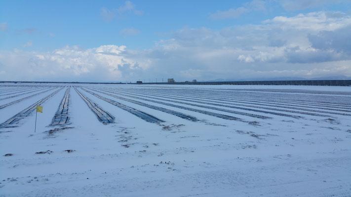 青森の厳しい冬がやってきました【にんにくは寒さから身を守るため糖度を蓄えます】