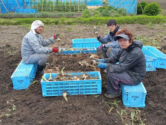 にんにく掘り取り※雨が続くと手作業になります【にんにくの根を切り余分な土を落とします】