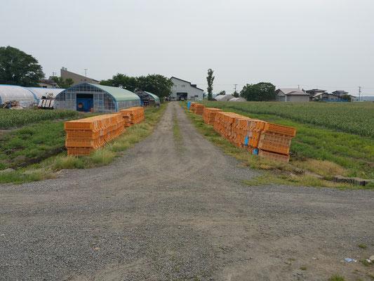 にんにく収穫前のコンテナ