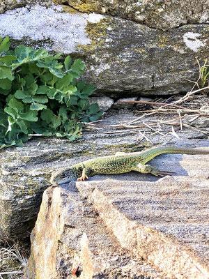 Smaragdeidechsen in der Wachau. Bei Auflügen in der Wachau im Urlaub zur Besichtigung und beim Wandern. Für Gruppen und Familien der Verleih von E-Scooteren in Niederösterreich