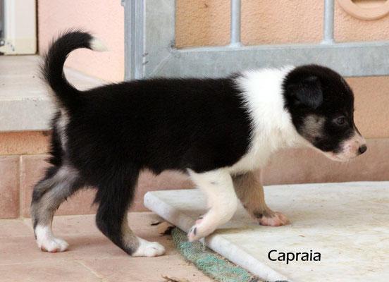 Capraia   peso/weight    1,340 kg.             prenotata/reserved