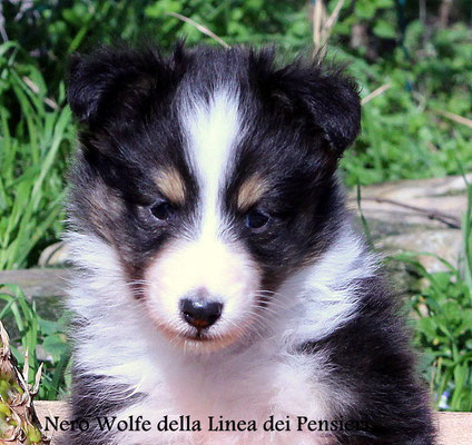 Nero Wolfe             maschio tricolore                    prenotato