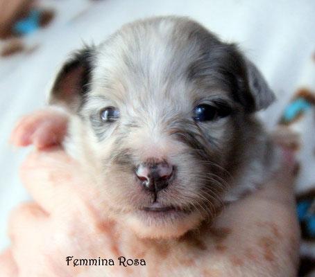 Femmina rosa/ girl pink                prenotata/ reserved