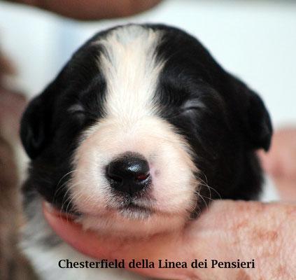 Chesterfield       maschio bianco e nero/boy biblack       disponibile/available
