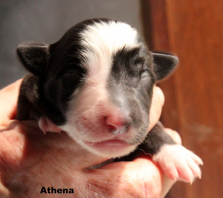 Athena    femmina bianco nera / girl biblack       prenotata/reserved