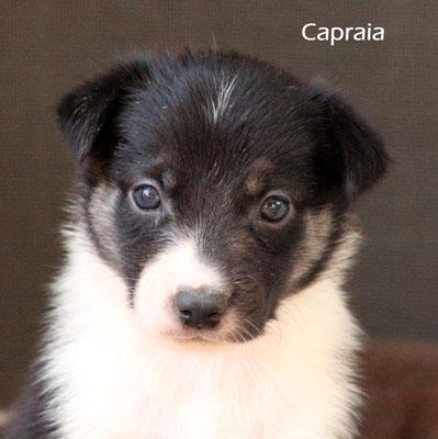 Capraia   femmina/girl      tricolor           prenotata/reserved