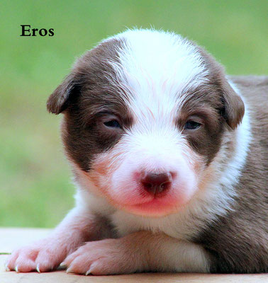Eros   maschio/boy                bianco e marrone/ white and brown    disponibile/available