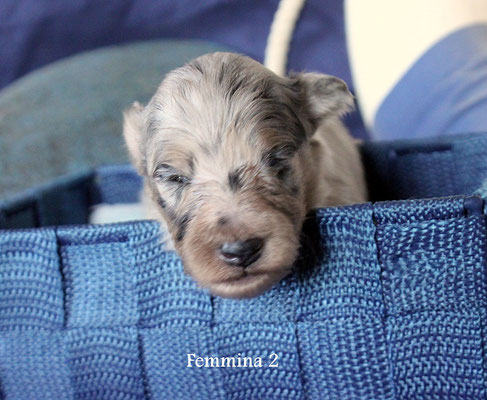 femmina 2                 blue merle