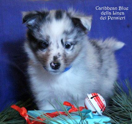 Caribbean Blue      maschio/boy            prenotato/reserved