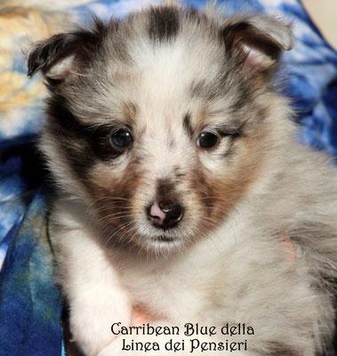 Caribbean Blue della Linea dei Pensieri     maschio/boy      prenotato/reserved