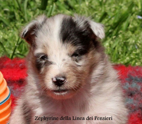 Zephyrine  femmina/girl              blue merle