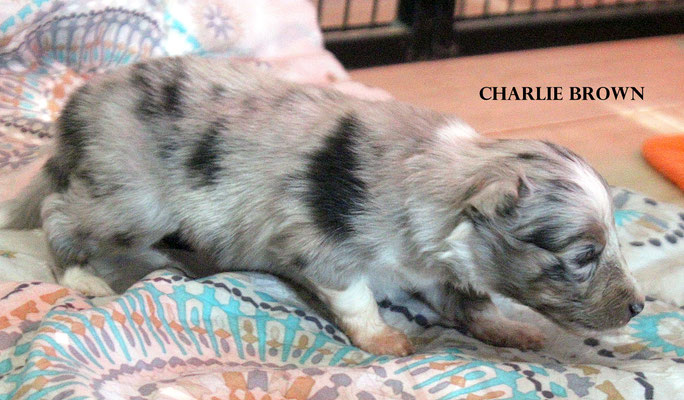 CHARLIE BROWN    peso/weight  470 gr.            prenotato/reserved