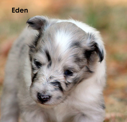 Eden   femmina/girl       biblue               resta all'allevamento/stay to the breeder