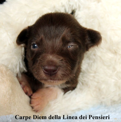 Carpe Diem   femmina/female      bianca marrone/white brown   prenotata/reserved