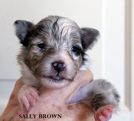 SALLY BROWN    femmina/girl      blue merle     prenotata/reserved