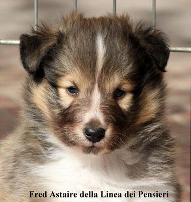 Fred Astaire    maschio/ male   fulvo e bianco/fauve / white  prenotato/ reserved
