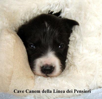 Cave Canem     femmina/female     bianco nera/biblack   prenotata/reserved