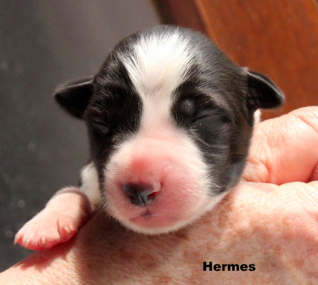 Hermes   maschio bianco nero  / boy biblack          disponibile/available