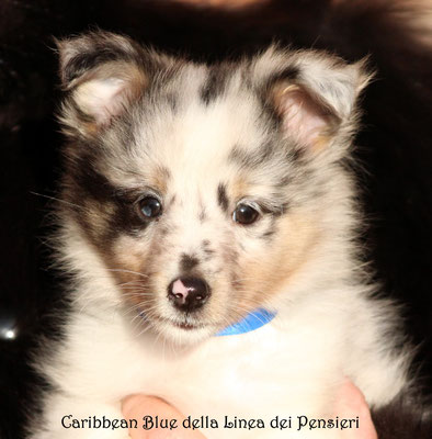 Carribean Blue    maschio/boy               prenotato/reserved