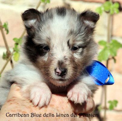 Carribean Blue della Linea dei Pensieri       maschio/boy         prenotato/reserved