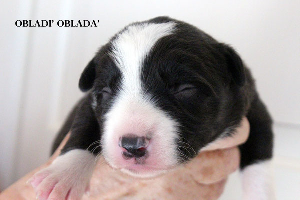 OBLADI' OBLADA'     maschio/boy    bianco e nero    disponibile/available
