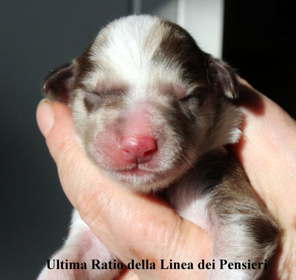 Ultima Ratio        maschio/male        red merle        disponibile/available
