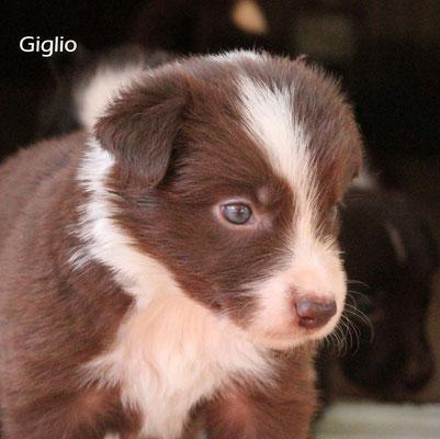 Giglio   maschio/boy     bianco e marrone/ white brown      disponibile/available