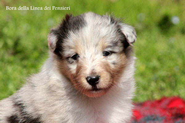 Bora   femmina/girl       blue merle