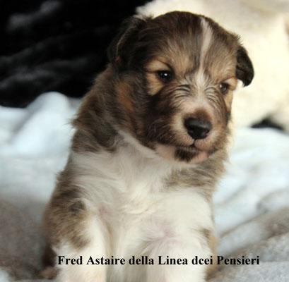 Fred Astaire   maschio/boy    bianco e fulvo/fauve white   riservato /reserved