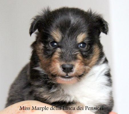 Miss Marple    femmina tricolore                       prenotata