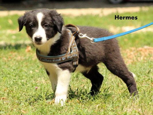Hermes    peso/weight   3,730  kg.       disponibile/available