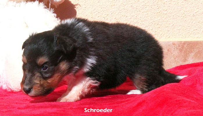 Schroeder      peso/weight   540 gr,         prenotato/reserved