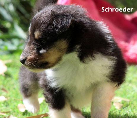 Schroeder     maschio/boy        tricolore           prenotato/reserved