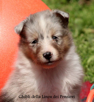 Ghibli    maschio/ boy    blue merle