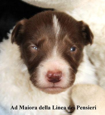 Ad Maiora   maschio /male       bianco e marrone/ white brown     disponibile/available