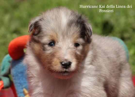 Hurricane Kai   maschio/boy     blue merle