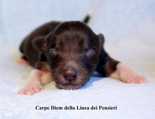 Carpe Diem     femmina/girl        marrone e bianca/brown and white     prenotata/reserved