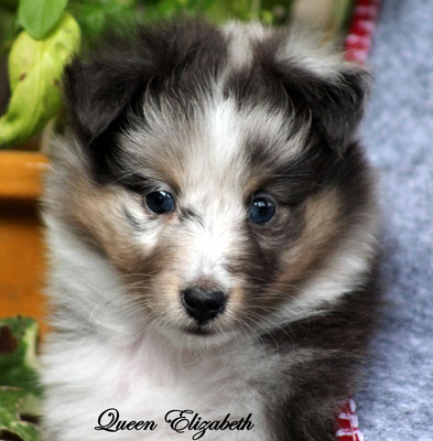 Queen Elizabeth          femmina blue merle     resta all'allevamento