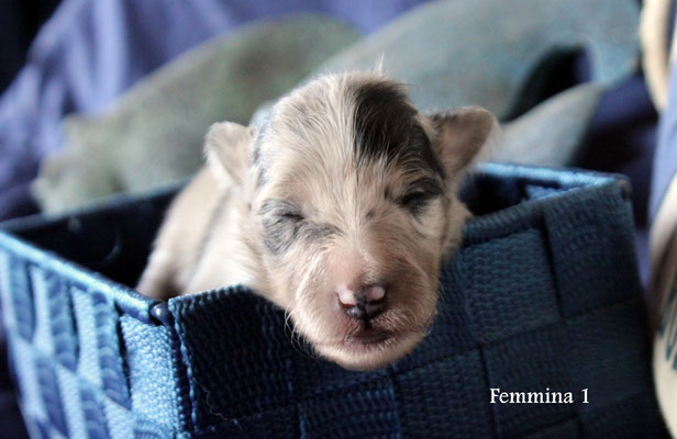 Femmina 1     blue merle